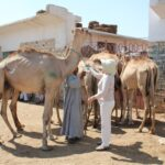 Buying a camel