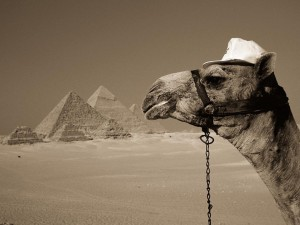 Cool-camel-300x225