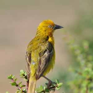A Cape Weaver in the Addo Elephant Park, South Africa