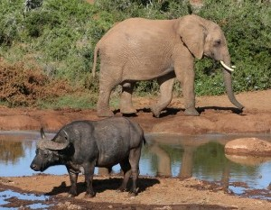 Elephant and Cape Buffalo at an African water hole