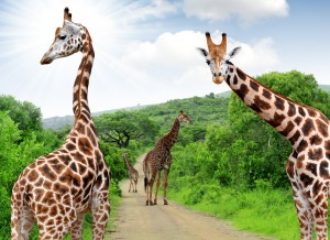 Giraffes of Kruger