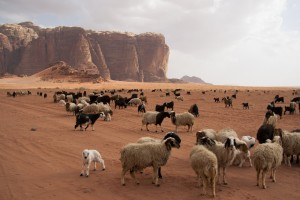 Herd of Bedouin sheep and goats in the Wadi Rum desert