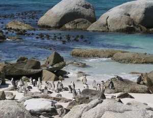 Jackass penguins cape town
