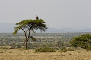 Vulture on an umbrella acacia tree, Masai Mara