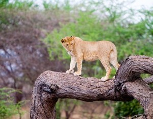 lion on the tree