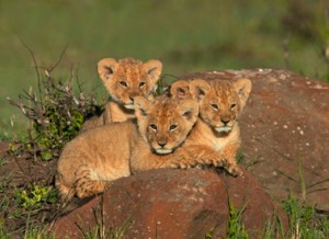 African Lion (Panthera leo) cubs waiting for mother Masai Mara, Kenya